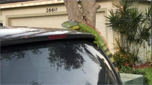 Watch: Florida man startled by falling iguana on windshield