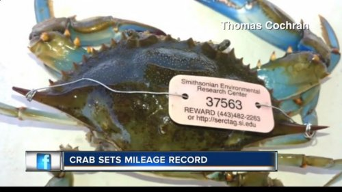 Watch: Crab caught in Florida was tagged in Maryland in 2015