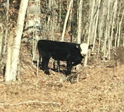 Look: Loose cow evades capture in Virginia