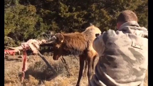Oklahoma-game-warden-uses-marksmanship-to-rescue-elk