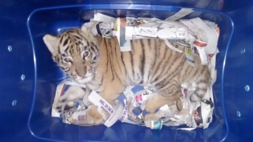 Mexican-police-find-tiger-cub-sent-by-express-mail