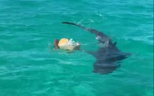 Tiger-sharks-trying-to-eat-foiled-by-turtle's-shell