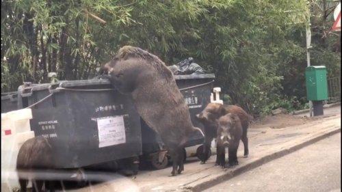 Shocked-witness-films-massive-'boar-king'-eating-from-dumpster