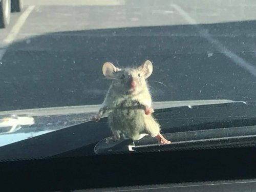 Mouse-hitches-ride-on-California-deputy's-windshield