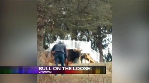 Escaped-bull-leads-police-on-chase-in-New-York-state