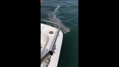 Florida-fishermen-encounter-massive-great-white-shark