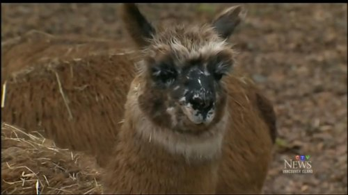 Neighbors-asked-to-keep-watch-for-escaped-llama-on-the-loose