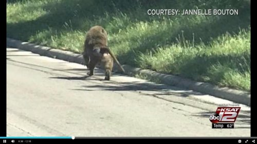 Four-baboons-escape-research-facility-in-Texas