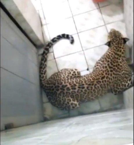 Wandering-leopard-ends-up-locked-inside-man's-bathroom
