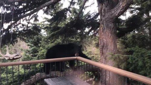 Bear-climbs-tree-to-reach-home's-second-floor-balcony