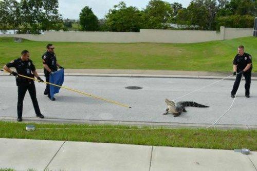 Cowboy-cops-lasso-loose-gator-in-Florida-street