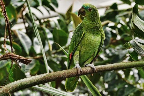 Man-chasing-escaped-parrot-gets-stuck-in-tree