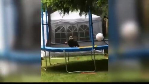 Bald-eagle-temporarily-trapped-on-trampoline-after-aerial-battle