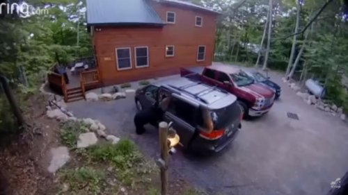 Mother-bear-opens-van,-climbs-in-with-her-cubs