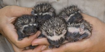 Pygmy hedgehogs a hit with Swedes