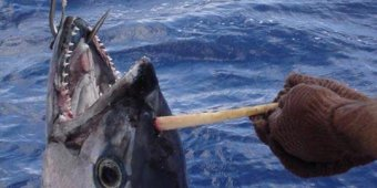 Fisherman: 'Tunicorn' tuna had horn on its head