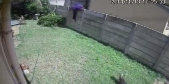 Tiny guard dog chases off suspected burglar [VIDEO]