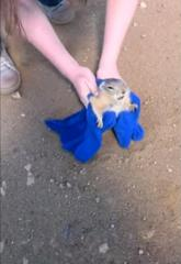 Watch Russian couple save prairie dog too fat for its hole