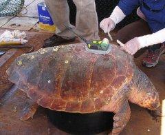 Study: Scientific tagging of aquatic animals may put them at risk