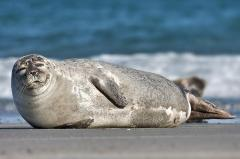 Tags on fish have a 'dinner bell' effect on seals, other predators