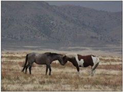 U.S. wild horse roundup debated