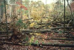Study: Windblown forests best left alone