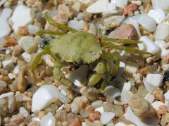 Fishermen, researchers to trap invasive green crabs in Maine