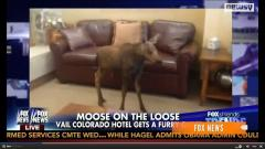 Baby moose wanders into hotel lobby in Colorado and creates a scene