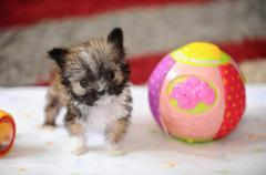 See the 4-inch dog that may be England's smallest