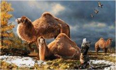 Extinct giant camel lived in arctic lands