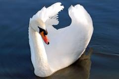 N.Y. state officials backtrack on swan cull plans
