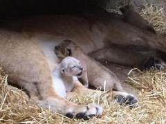 Rare white lion cub greets public at Omaha zoo