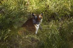 'Man-eater' tiger suspected of killing at least 7 people shot dead in India