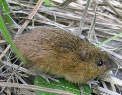 Meadow jumping mouse of New Mexico listed as endangered
