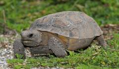 Florida man busted for eating threatened tortoises