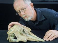 Fossil could be of ancestor of all modern dolphins, toothed whales