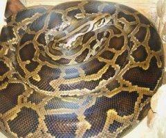 U.S. to ban invasive snake species