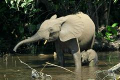 Elephants could vanish because of poaching