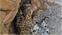 Elusive snow leopards filmed in Mongolia