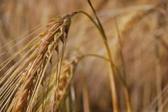 Low price supports may be souring Pakistani farmers on wheat