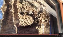 Attic window offers glimpse of life inside a wasp nest