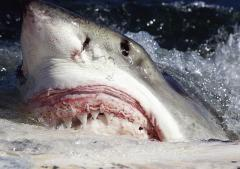 Sharks tweet their location to warn Australian beachgoers