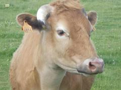 Escaped cow offered new home