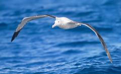 Study: Albatross changing breeding habits