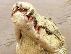 Albino crocodile named for Michael Jackson shot dead after eating fisherman
