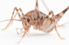Asian camel crickets now common U.S. house guests