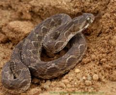 Did hard-wired fear of snakes drive evolution of human vision?