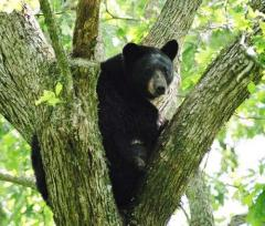 Louisiana black bear safe from threat of extinction, USGS says