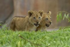 Two lion cubs born in Gaza Strip named after missiles