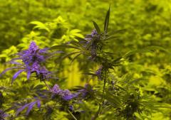L.A. seeks court order to stop marijuana farmers' market